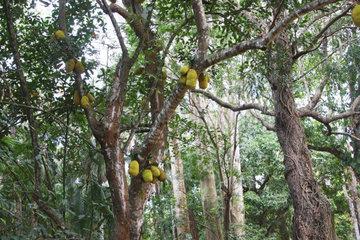 Brotfruchtbaum