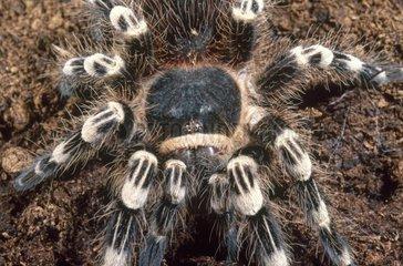 Giant tarantula -Achantoscurria geniculata  Brasil