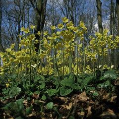 Waldschluesselblumen im Fruehling