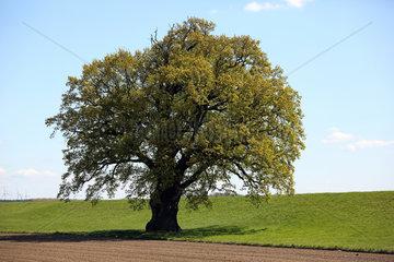 Graditz  Deutschland - Eichenbaum