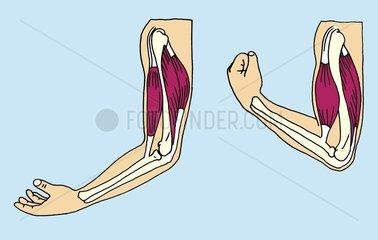 Armbeugen Querschnitt Muskulatur Knochen Medizin