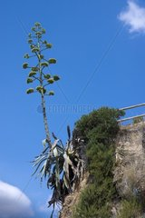 The inflorescence of an agave plant  Lloret de Mar  Costa Brava  Comarca Selva  Province Girona  Catalonia  Spain  Europe