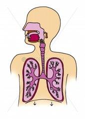 Lunge Bronchien Atemwege Medizin