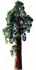 Mammutbaum freigestellt