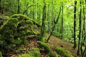 France  Haute-Savoie  Avant Pays Savoyarde  forest in the Cirque de Saint Meme