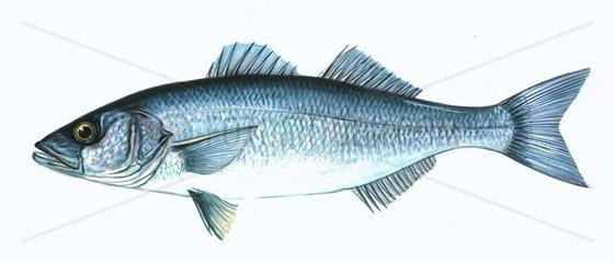 Serie Fische Seebarsch Wolfsbarsch Dicentrarchus labrax Loup de Mer