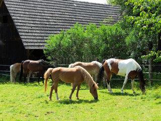 Pferde auf der Koppel beim Grasen