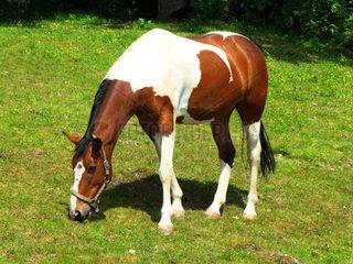 Pinto Warmblut Pferd auf der Koppel