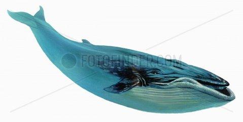 Serie Fische Blauwal