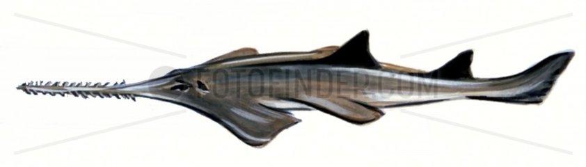 Serie Fische Saegehai Serie Haie