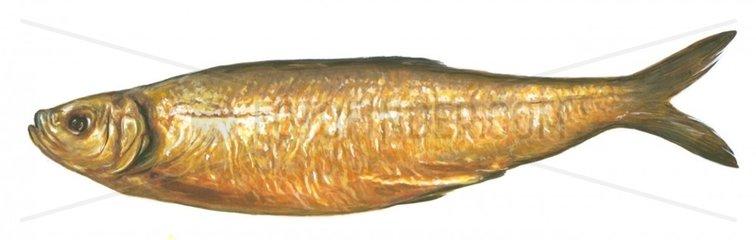 Serie Fische Geraeucherter Hering Bueckling