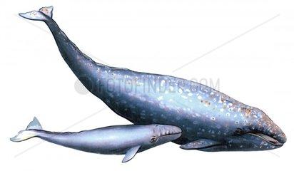Serie Fische Grauwal Walkuh mit Jungwal