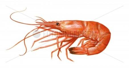Serie Fische Garnele gekocht Palaemon serratus Prawn Crevette