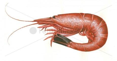 Serie Fische Nordseekrabbe Granat gekocht Crangon crangon