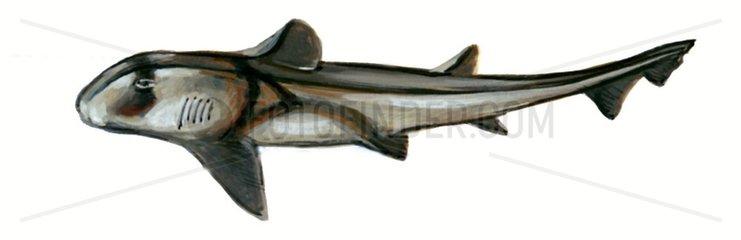 Serie Fische Stierkopfhai Serie Haie