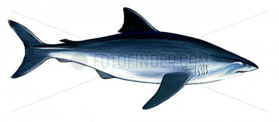 Serie Fische Weisser Hai Serie Haie