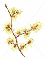 Zaubernuss Hamamelis virginiana Heilpflanze