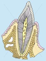 Zahn Querschnitt Medizin