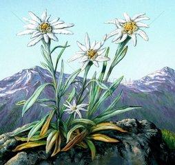 Edelweiss und Gebirge