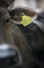 Kuh mit Ohrmarke