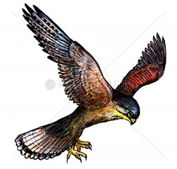 Fliegender Turmfalke Serie Voegel