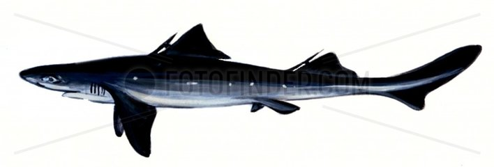 Serie Fische Stachelhai Serie Haie