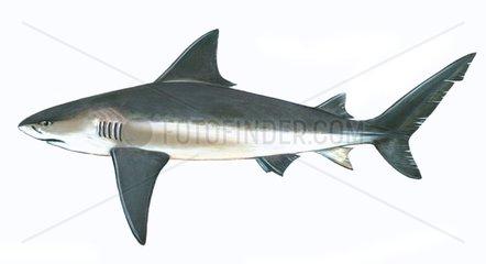 Serie Fische Bullenhai Stierhai Carcharhinus leucas Serie Haie