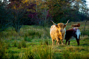 Schottische Highlandrinder am Weissenhaeuser Broek.