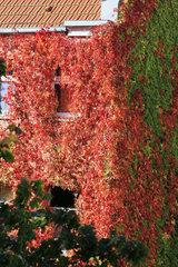 Fassadenbegruenung und Herbstfarben