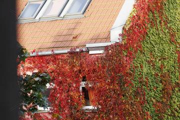 Kletterpflanzen und Herbstfarben