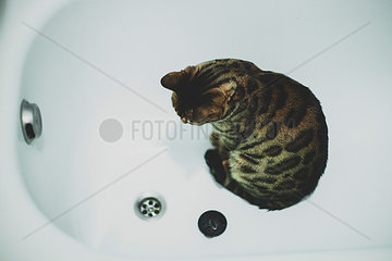 Bengalkatze in Badewanne