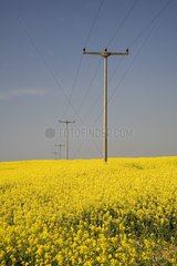 Blooming rape fields with aerial line in Western Pomerania