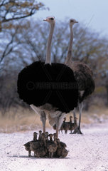 Africa  Ostrich female with chicks  (Struthio camelus)