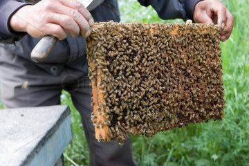 Bienenvolk | beekeeper