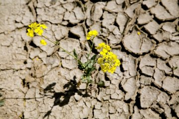 rape plant in dried out ground