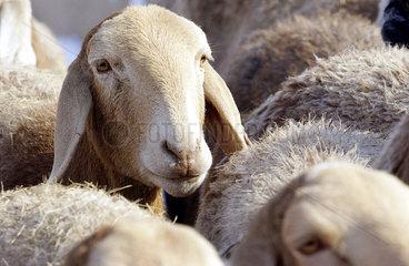 Schafe im Dorf Baluc