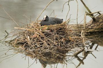 Ein Blaesshuhn (Fulica atra) bruetet in seinem Nest.