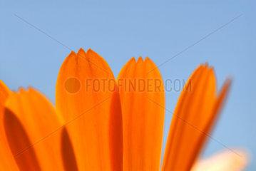 Ringelblume (Calendula officinalis)
