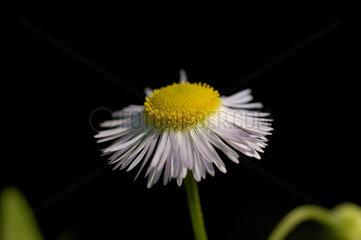 Margerite (Bellis perennis L  Massliebchen)