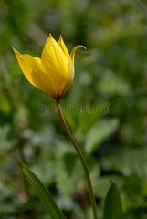 Wilde Tulpe (tulipa sylvestris L.) bei Neuchatel in der Schweiz.