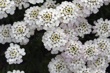 Schleifenblume Weisse Blueten