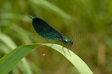 Blaufluegel - Prachtlibelle  calopteryx virgo.