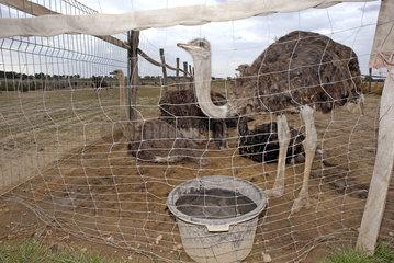 Vogelstraussfarm