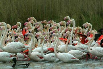 France  Provence  Camargue  greater flamingos (Phoenicopterus roseus)