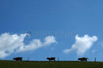 Kuehe im Emmental am Horizont mit Wolken.