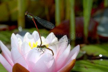 Zwei Libellen bei der Eiablage auf einer Teichrose