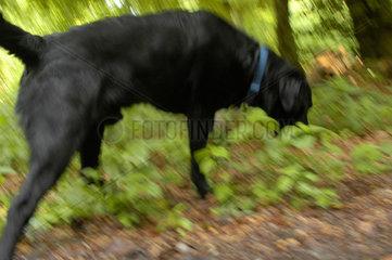 Labrador Retriever im Wald