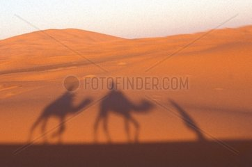Camel in desert of Erg Chebbi  Morocco