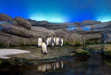 Koenigspinguine im Zoologischen Garten von Berlin