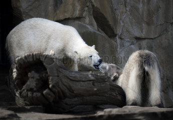 Eisbaer Knut und Eisbaerin Giovanna